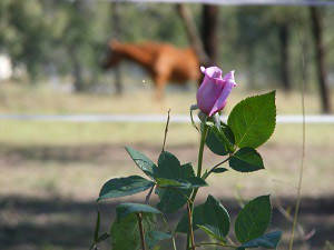 Beautiful rose flowering over Joy's pet memorial.
